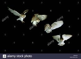 Barn Owl Flight Landing Sequence Stock Photo, Royalty Free Image ... Barn Owl Landing Spread Wings On Stock Photo 240014470 Shutterstock Barn Owl Landing On A Post Royalty Free Image Wikipedia A New Kind Of Pest Control The Green Guide Fence Photo Wp11543 Wp11541 Flight Sequence Getty Images Imageoftheday By Subject Photographs Owls Kaln European Eagle Coming Into Land Pinterest Pictures And Bird