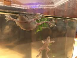 African Dwarf Frog Shedding Or Sick by I U0027m All About Fat Vivienne U0027s Process Of Elimination