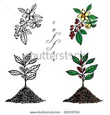 Hand Drawn Set A Coffee Tree And Branch With Flowers Fruits On White