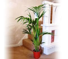 große kentia palme in pot evergreen floor plant
