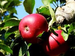 Best Apple Hill Pumpkin Patch by Apple Hill Ca Blog Boa Vista Orchards