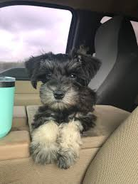 12 Week Old Baxter, The Best Little Truck Dog : MiniatureSchnauzer A Food Truck For Pets Is Coming To Boston Magazine Dogs Die Falling Off Pickup Trucks Trucking With A Dog What Drivers Should Know About Furry Pickups Pickup Truck Dog Rudy Photograph By Tara Cantore Blue Wall Art Bromi Design Pick Up Pal Cool Stuff Driving Behind The Steering Wheel Of Lorry Stock Debbis Front Porch Dawgz The Dangers In Beds 1800petmeds Cares Novel Four Bites Hc Thrifty Teachers