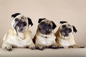 Do Pugs And Puggles Shed by Pug Dog Breed Information Pictures Characteristics U0026 Facts U2013 Dogtime