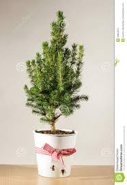 Potted Christmas Trees For Sale by Miniature Potted Christmas Tree On The Table Stock Photo Image