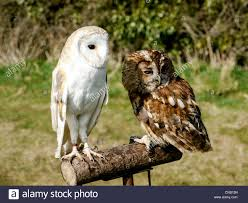 Brown Barn Owl And Tawney Owl On Perch At Chenies House, Amersham ... Barn Owl Looking Over Shoulder Perched On Old Fence Post Stock Eccles Dinosaur Park Carnivore Carnival The Salt Project Barn Moving Head Side To Slow Motion Video Footage 323 Best Owls Images Pinterest Owls Children And Free Images Wing White Night Animal Wildlife Beak Predator 189 Beautiful Birds Sat A Falconers Glove Photo Royalty Image Paris Owl 150 Pictures Snowy More
