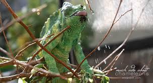 Basking Lamp For Chameleon by Much Ado About Chameleons How To Set Up A Proper Chameleon Enclosure
