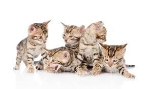 popular cat names 51 most popular bengal cat names 2017