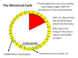 Shedding Of The Uterine Lining Is Called by Sexual Reproduction In The Human The Female U2013 Structure U0026 Hormones