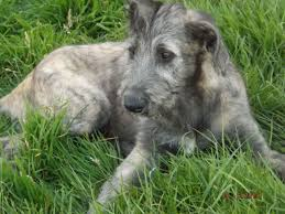 Irish Wolfhound Non Shedding by Get To Know These 21 Non Shedding Small Dogs Freetonia Zone