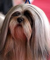 lhasa apso puppy shedding lhasa apso