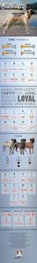 Shed Free Lap Dogs by Bullmatiff Dogs Infographic Temperment Size U0026 Puppies For Sale