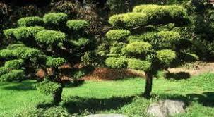 pin parasol plantation taille et entretien
