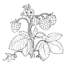 Strawberry Plant Drawing At GetDrawingscom Free For Personal Use