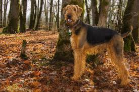 Do Airedale Puppies Shed by Airedale Terrier Breed Information Characteristics U0026 Heath