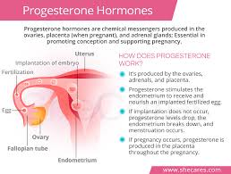 Uterine Lining Shedding Period by Natural Progesterone Hormones Shecares Com