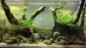 Tour Of Our Aquascaping Showroom - YouTube Aquascaping Artist Oliver Knott Scapingaquarium Pinterest Schwimmende Stein Steine Im Aquarium By Knott Youtube Aquascapi Sequa Interzoo 2012 Feat Chris Lukhaup Live Part 3 The Island Aquascape Step Aquariology With At The Koelle Zoo Heidelberg New Project Photo Editor Online And Editor Made Teil 1 Inspiration Tips Tricks Love Aquascaping Octopus Aquarium Via Aquac1ubnet