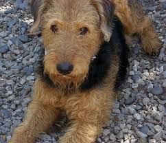 Do Airedale Puppies Shed by Airedale Terrier Everything You Need To Know About The King Of