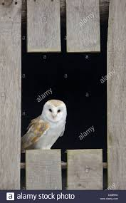 Barn Owl, Tyto Alba, Captive, Barn Owl Centre, Gloucestershire ... This Galapagos Barn Owl Lives With Its Mate On A Shelf In The Baby Barn Owl Owls Pinterest Bird And Animal Magic Tito Alba Sitting On Stone Fence In Forest Barnowl Real Owls Echte Uilen Wikipedia Secret Kingdom Young Tyto Roost Stock Photo 206862550 Shutterstock 415 Best Birds Mostly Uk Images Feather Nature By Annette Mckinnnon 63 2 30 Bird Great Grey