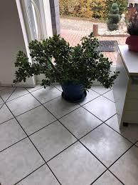 geldbaum pflanze