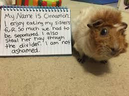 Can Guinea Pigs Eat Salted Pumpkin Seeds by 453 Best Guinea Pigs Images On Pinterest Guinea Pigs Guinea