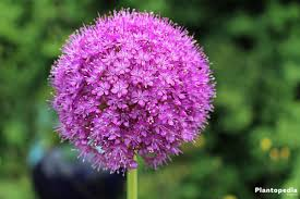 allium flower bulbs how to plant grow and for allium