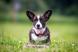 30 Dog Breeds That Shed The Most by Cardigan Welsh Corgi Dog Breed Information Pictures