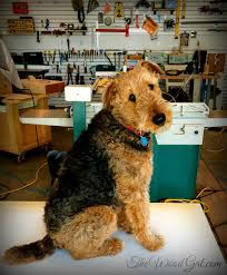 Airedale Terrier Non Shedding by 16 Best It U0027s All About Piper The Standard Airedale Terrier Images