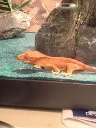 Crested Gecko Shed Box by 118 Best Reptile Images On Pinterest Geckos Crested Gecko