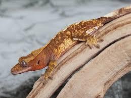Crested Gecko Shedding Behavior by Crazy Red Geckos Rhac U0027em Up