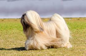 lhasa apso puppy shedding lhasa apso breed information pictures characteristics