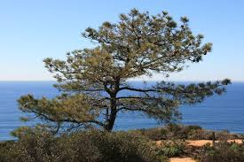 Leyland Cypress Christmas Trees Louisiana by Sights Torrey Pines State Natural Reserve Pinus Torreyana The