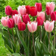71 best TULIP Darwin hybrid images on Pinterest