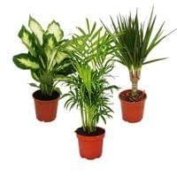 zimmerpflanzen mix ii 3er set 1x dieffenbachia 1x chamaedorea bergpalme 1x dracena marginata drachenbaum 10 12cm topf