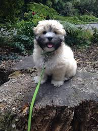 My Lhasa Apso Is Shedding Hair by Willow 3 Month Old Lhasa Apso Animals That I Love Pinterest
