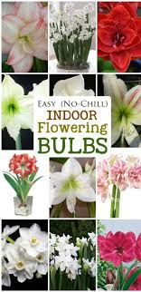 easy no chill indoor flowering bulbs bulbs you ve and count
