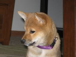 Do Shiba Dogs Shed by Sachi U0027s Dog Blog A Blog About Being A Puppy And Becoming A Dog