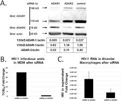 hiv 1 replication following adar1 sirna knockdown in mdm infected