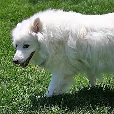 Toy American Eskimo Dog Shedding by Cute Dog Pictures Our American Eskimo Dog Growing Up The Dog Guide
