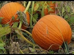 Types Of Pumpkins Grown In Uganda by Planting Pumpkins July 2012 Youtube