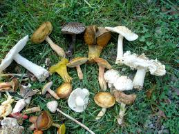 New AMG Blog: Lethal Lawns: Preventing Mushroom Poisoning ... Massive Mushrooms Perennial Garden Lover Soilduck Fanciful Fungi 3 Truffles In Your Backyard Backyards Amazing Edible Plants Scotch Bonnet Lawn Mushroom Youtube Free Images Nature Forest Backyard Leaves Fungus Mushrooms Identify These Back Yard Edible Hunting And How To Grow Get Rid Of The Yard Southern Living Mrgola Murga Morilla O Rabassola Morchella Rotunda Seta Fall For Wild Missouri Department Cservation Stop Bagging Lawn Nonblooming Irises Nh Notes A Diverse Array Naturalis