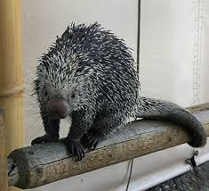 Porcupine Eats Pumpkin by The Complete Resource To Keeping Porcupines As Pets I Love Pets