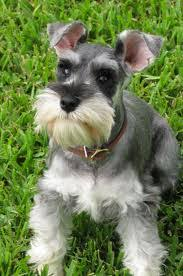 Top 10 Dogs That Dont Shed by Top 10 Dogs Owened Didzbhc