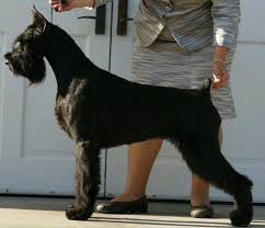 Do Giant Schnauzer Dogs Shed Hair by Giant Schnauzer Show Dog Me Pinterest Schnauzers Giant