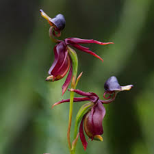 flying duck orchid seed beautiful flower bonsai home office potted