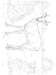 Animal Kingdom Coloring Book Deer Pages Download And Print