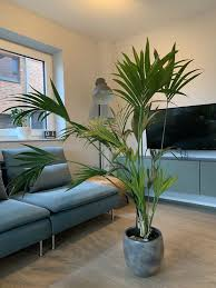 kentia palme howea forsteriana zimmerpflanze