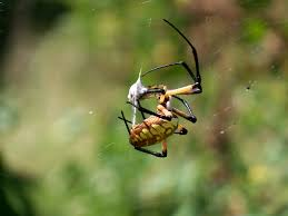 Beneficial Insects Spiders | Ediblesanmarcos's Blog R2rustys Chatter September 2017 Ladybugs Backyard And Beyond Birdingand Nature Golden Silk Orb Weaver Spider In Bug Eric Sunday Black Yellow Argiope Glass Beetle By Falk Bauer A Backyard Naturalistinsects Ghost Spiders Family Anyphnidae Spidersrule C2c_wiki_silvgarnspider_hrw8q0m1465244105jpg Aurantia Wikipedia Two Views Sonoran Images Elephant Tiger Skin Spiny Blackandyellow Garden Mdc Discover Power Animal For October Shaman Amy Katz