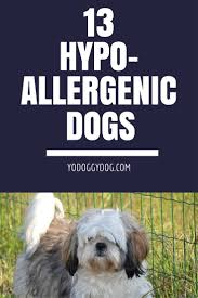 Non Shed Dog Breeds Hypoallergenic by 13 Beautiful Hypoallergenic Dogs Goodbye Allergies