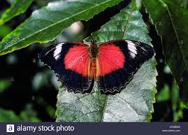 100 Butterfly House Melbourne A Tropical Butterfly Displays Patterns On Its Black Wings In The