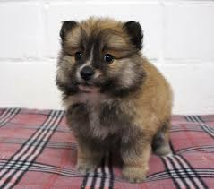 Dogs That Dont Shed Keeshond by Http Dogs Petbreeds Com Stories 5026 Rare Cute Dog Breeds